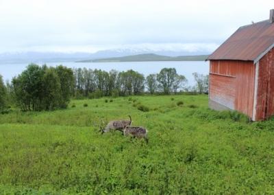 29-Norwegen-1.-Rentiere-640x427